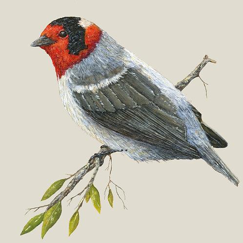 "Red Headed Warbler (6"" x 6"" Print)"