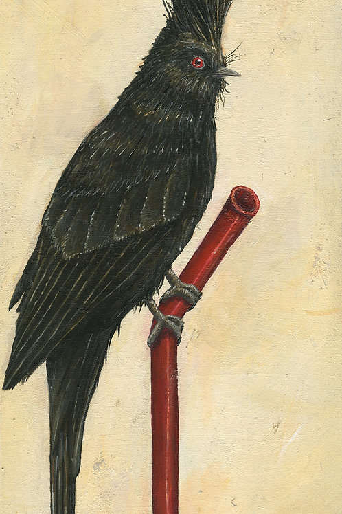 Phainopepla on Pipe (Print)