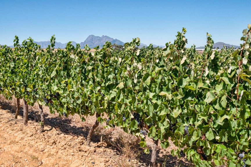 Vineyards_03.jpg