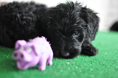 piggy pup.jpg