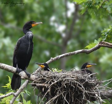 Cormorant Family