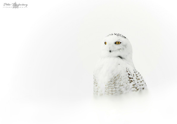 Snowy Owl in White Out