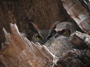 Great Horned Owlet and Mother