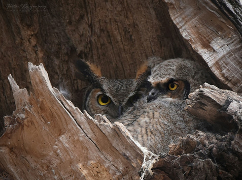 Great Horned Owlet with Mother