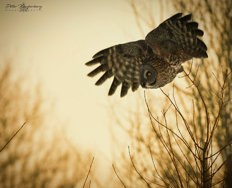 Great Grey Owl in Golden Hour