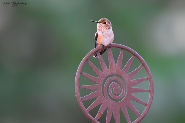 Allen's Hummingbird - WIDE