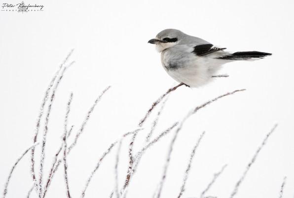 Northern Shrike on Hoar Frost