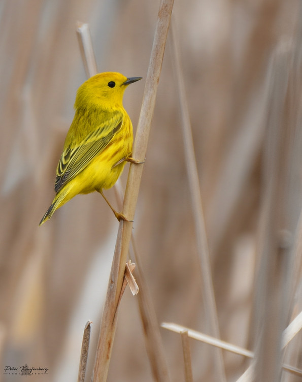Yellow Warbler Perch