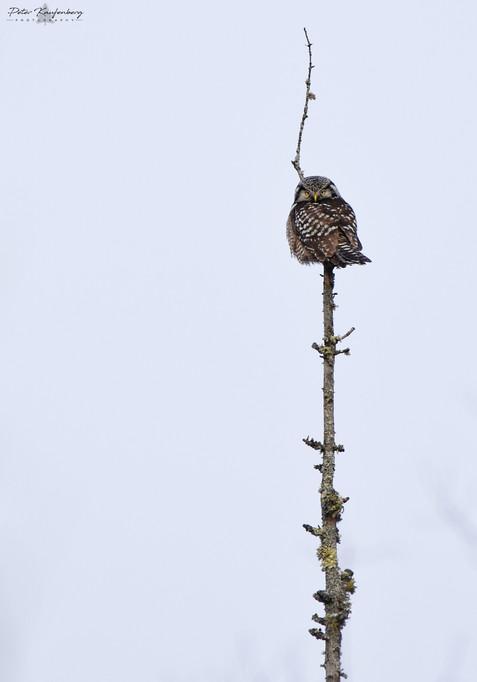 Northern Hawk Owl Perch