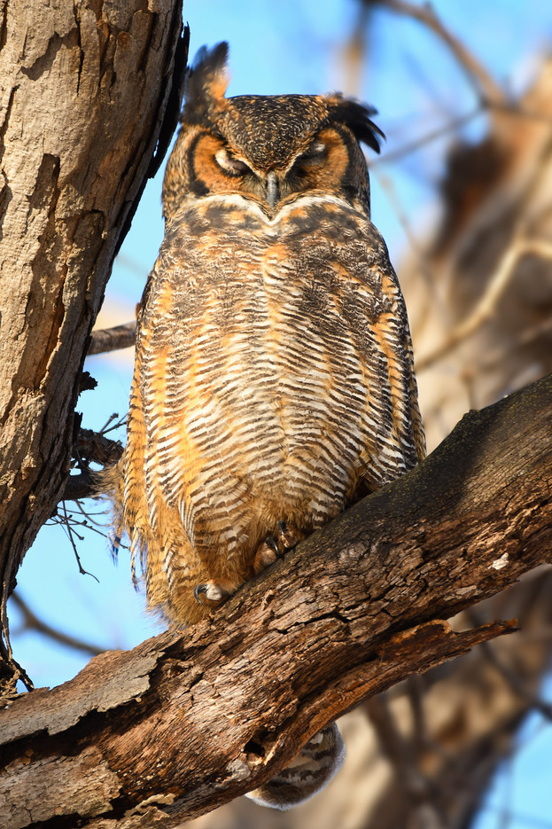 Great Horned Owl Shakes Ear Tufts