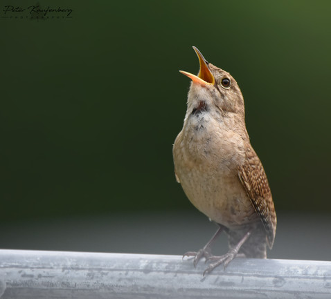 House Wren Singing