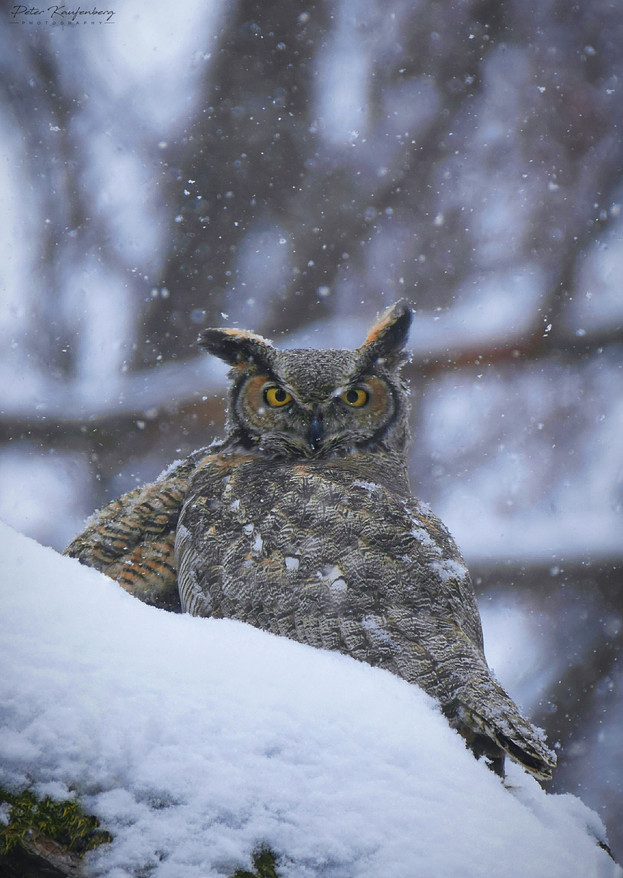 Great Horned Owl Protecting Her Chick