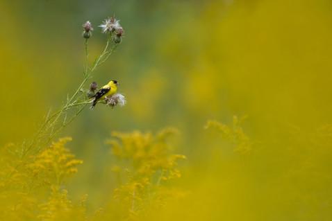 Goldfinch in Goldenrod