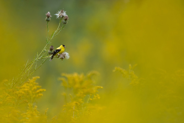 Goldfinch in Goldenrod
