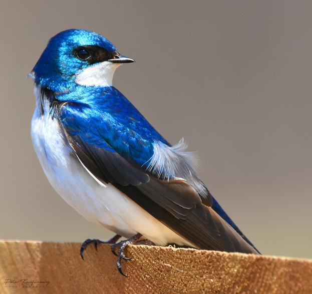 Tree Swallow Brilliant