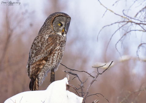 Great Grey Owl - WIDE