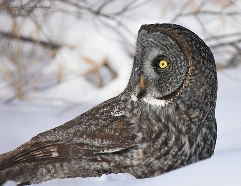 Great Grey Owl in the Snow