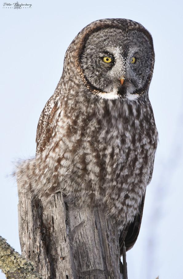 Great Grey Owl in Morning Light