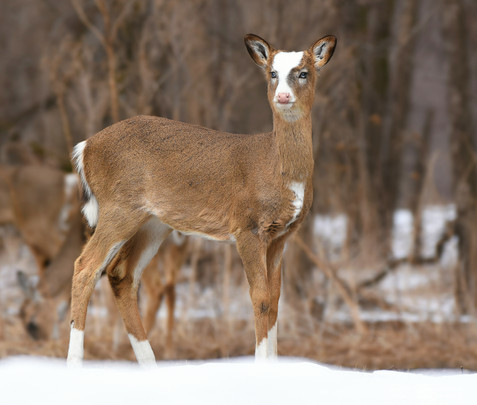 Piebald White-Tail Deer