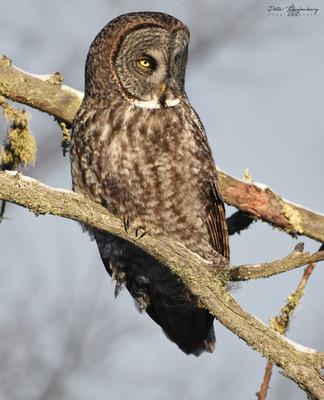 Great Grey Owl Golden Hour