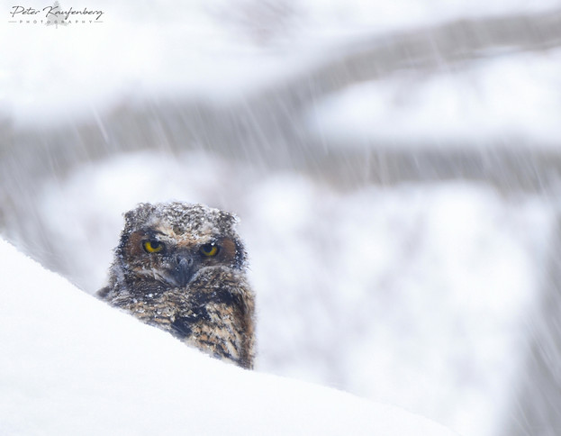 Great Horned Owlet in a Blizzard