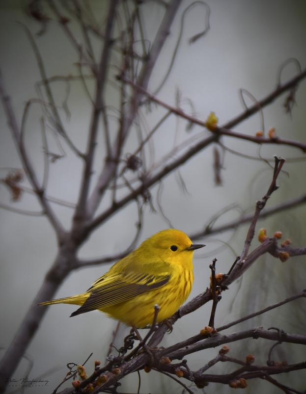 Yellow Warbler Gloom
