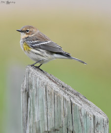 Yellow-rumped Warbler Fall Plumage