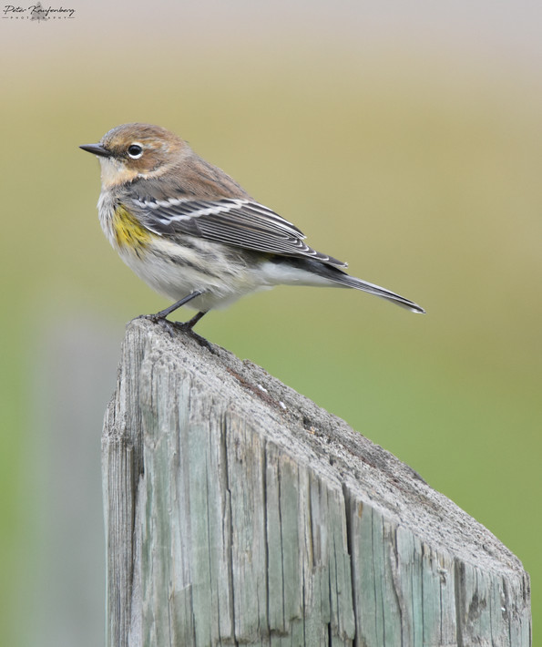 Yellow-Rumped Warbler Fall Plumedge