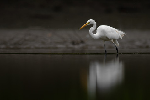 Egret with Small Fish