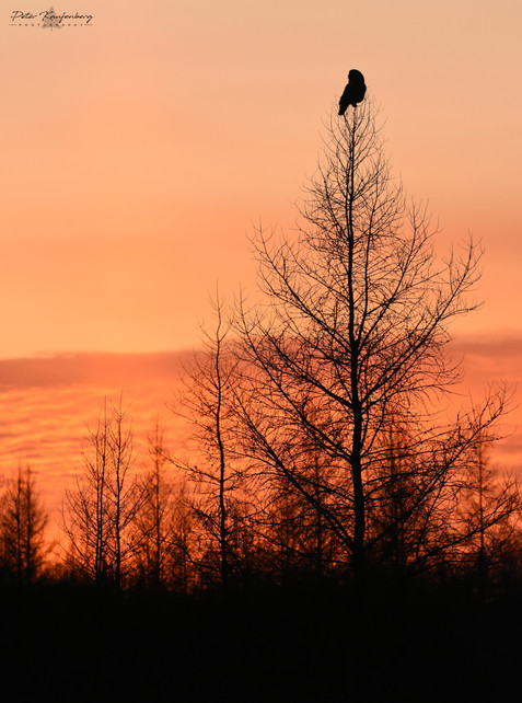 Great Grey Owl Sunset