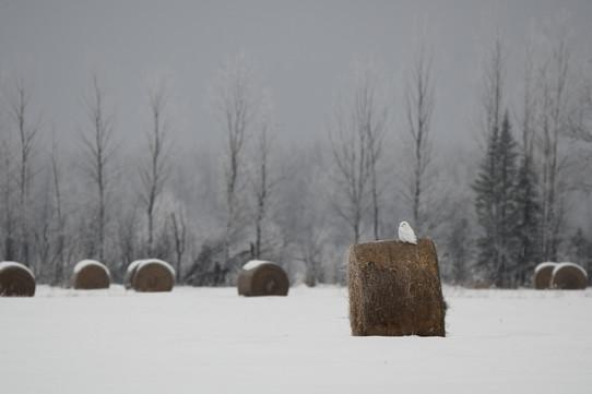 Snowy Owl Landscape
