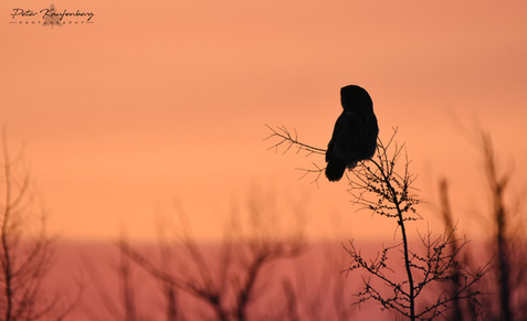 Great Grey Owl Sillouette