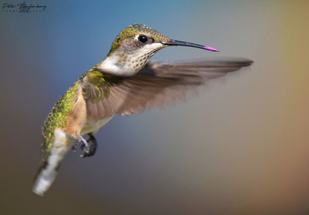 Ruby-Throated Hummingbird with Pollen