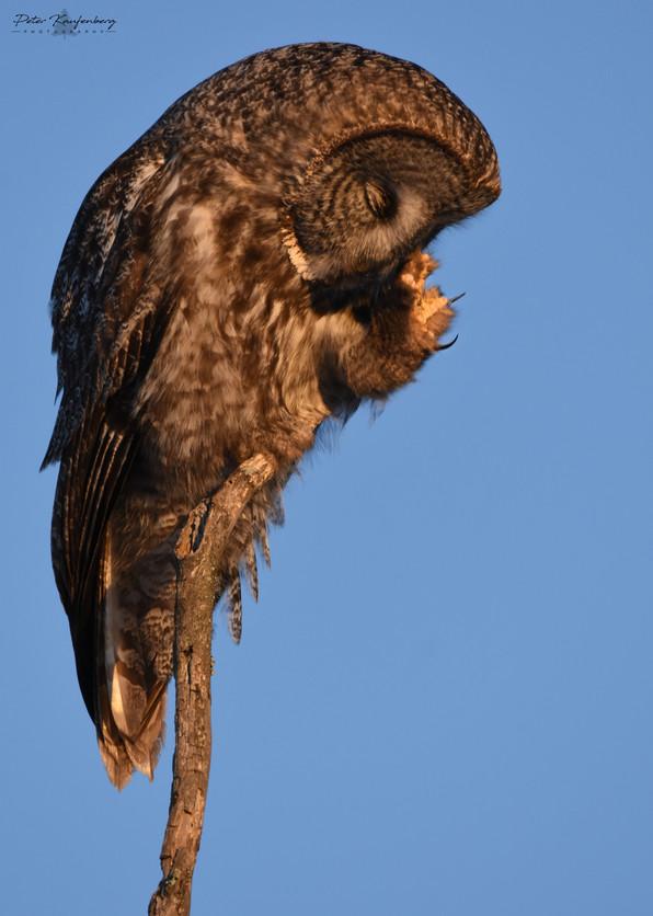 Sleepy Great Grey Owl