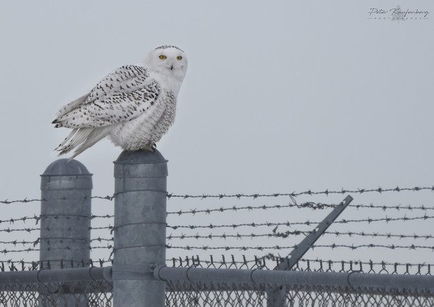 Snowy Owl on Barbed Wire