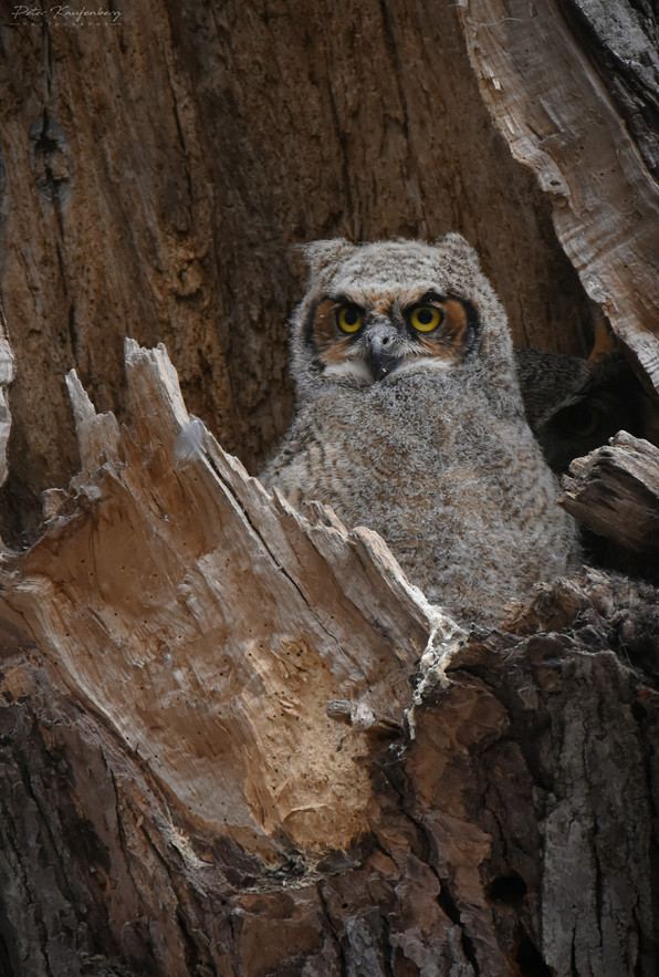 Great Horned Owl Building Confidence