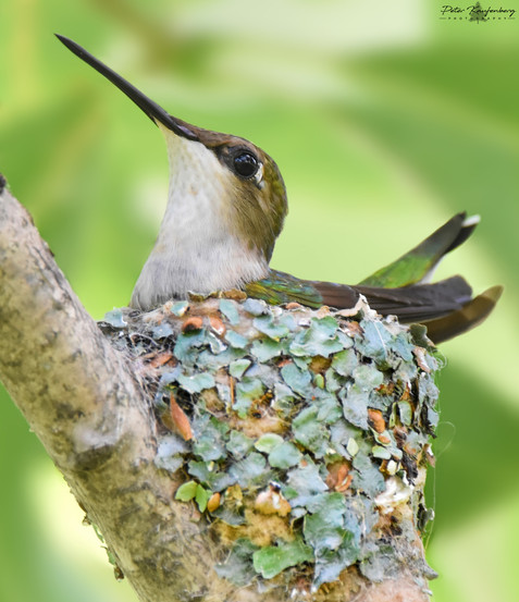 Ruby-Throated Hummingbird in Nest