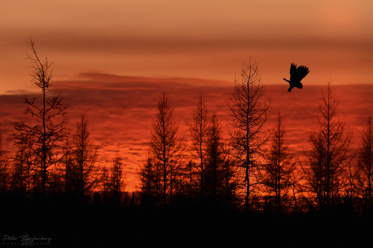 Boreal Bog Sunset with Great Grey Owl