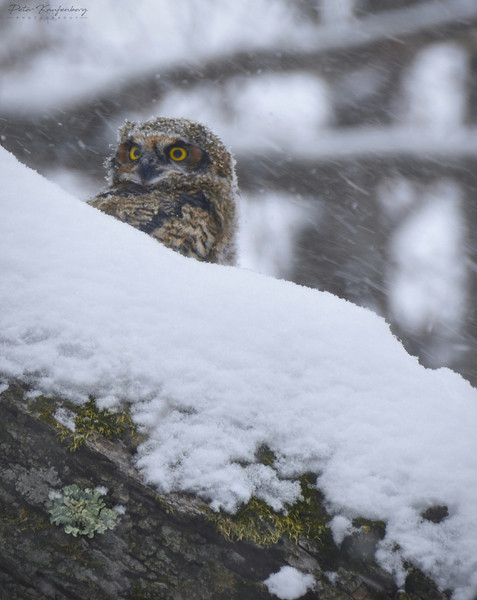 Great Horned Owlet in the Snow
