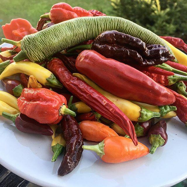 Verschiedene Chili-Sorten aus unserem Garten