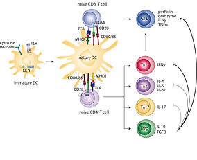 Innovative peptide inhibitors targeting oncoproteins such as transcription factors