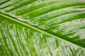 Details of a green leaf, in Singapore Botanic Gardens.