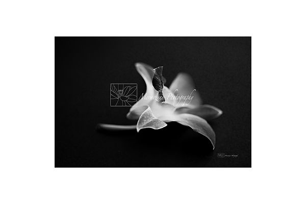 Black and white photography of nature: orchid.