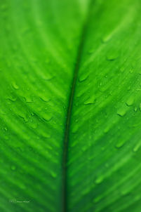 Green leaf after the rain.