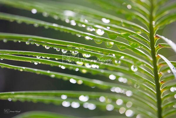 Rain drops on a plam tree leaf.