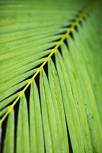 Palm tree, Singapore