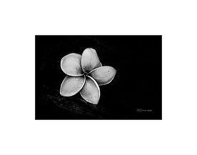 Black and white photography of nature: frangipani flower.