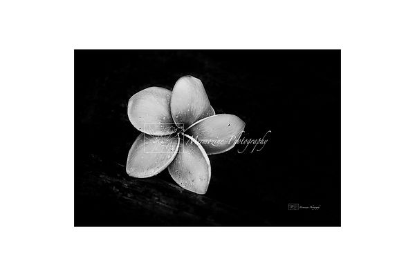 Black and white photography of nature: frangipani flower.
