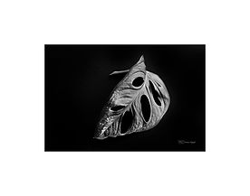 Black and white photography of nature: monstera leaf.