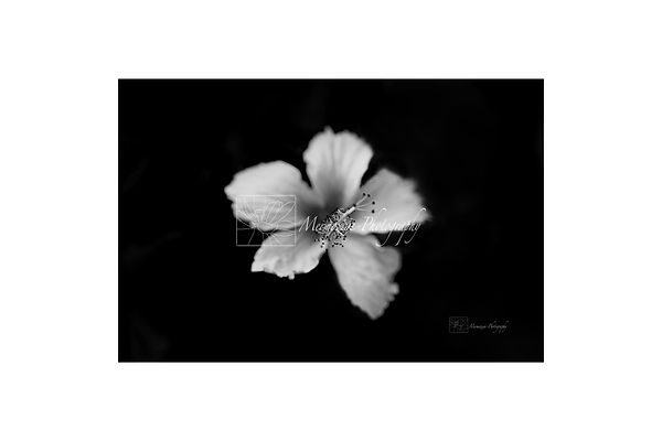 Black and white photography of nature: hibiscus.